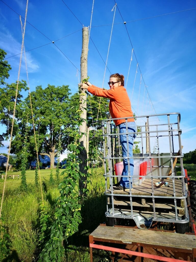 woman on scaffolding secures hops vines to trellis structure