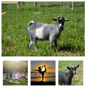 Images of goats in green fields and people practising yoga